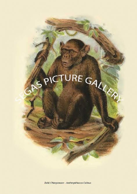 Fine art print of the Bald Chimpanzee - Anthropithecus Calvus by Henry Ogg Forbes (1897)